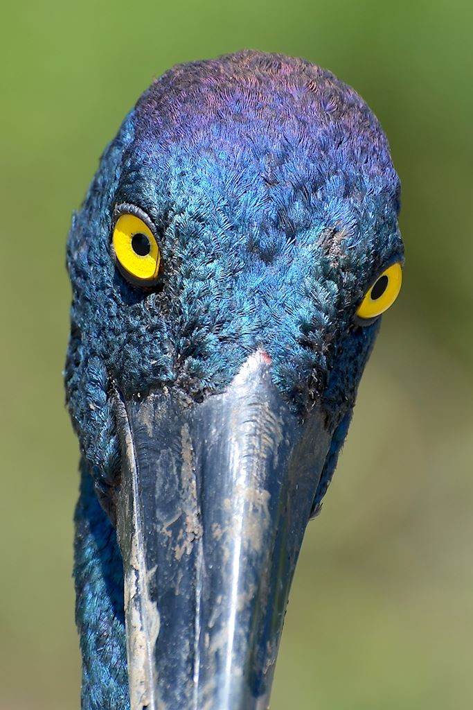 Jabiru yellow eyes